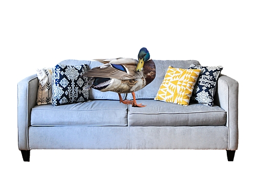 Duck on a couch